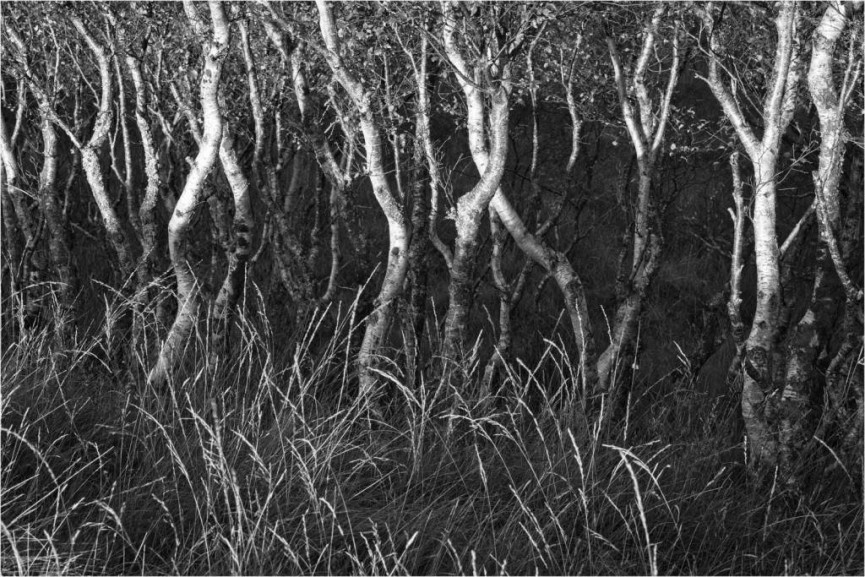 Grasses and Birch Trees by   Simon Rahilly - Commended