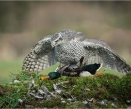 Goshawk Mantling a Mallard by Charles Connor, St. Helens Overall winning image