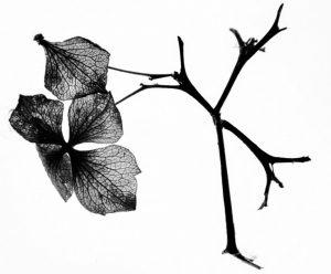 Dead Hydrangea stem by Sarah Bevan