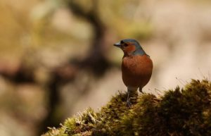 Commended - Chaffinch by Sarah Bevan