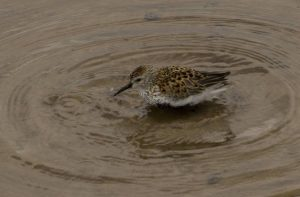 Highly Commended - Little Stint by Alan Cargill