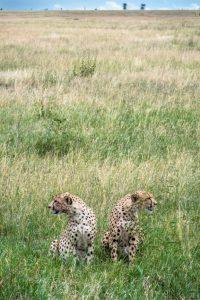 2nd Place - Cheetahs, Serengeti by Derek Gould