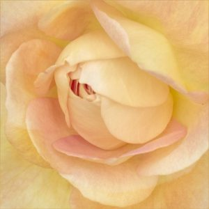 Commended - Rose petals by Barbara Green