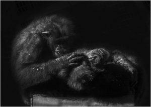 Chimps Grooming by Alan Cargill