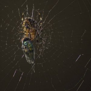 Commended - Spider with Prey by Alan Cargill