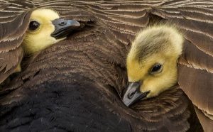 Branta canadensis goslings by Sarah Bevan