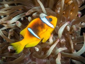 Commended - Clownfish In Long Tentacle Anemone  by Derek Gould