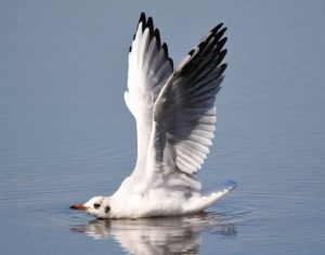Commended -  Black Headed Gull Stretching by Amy Ashley-Mather