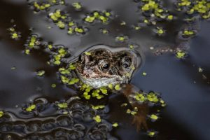 Commended - Common Frog with Spawn by Simon Rahilly LRPS