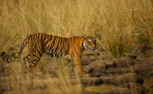 Very Highly Commended - Bengal Tiger by Sarah Bevan