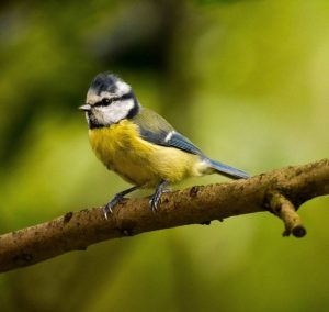 Commended - Blue Tit by Amy Ashley-Mather