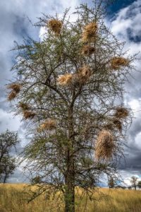 Highly Commended - Weaver Bird Nests, Tarangire National Park, Tanzania by Derek Gould