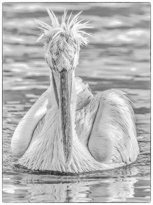 Eye to Eye Dalmatian Pelican by Martin Reece ARPS