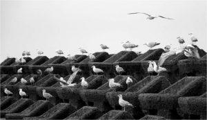 John Thomson 40 Gulls