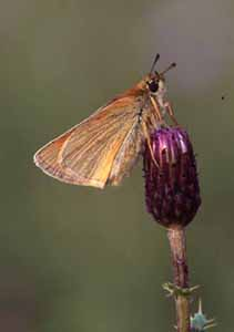 Small Skipper, Eric Garnett ARPS CPAGB, Natural History, Slide