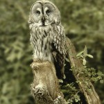 The Colour Print Winner was 'Great Grey Owl' by Brian Johnson
