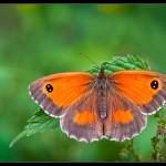 14 Gatekeeper on nettle leaf