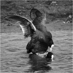 15 Coots Mating