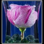 16 Rose Bubbles