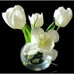 41 white tulips