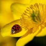 53 24-Spot Ladybird On Marsh Marigold