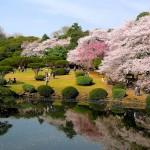 58 Cherry blossom time, Shinjuku Park, Toyko, Japan