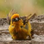 Spectacled Weaver Bird taking a bath