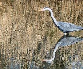 """""""Grey Heron in Reflective Mood"""" by James Bennett"""