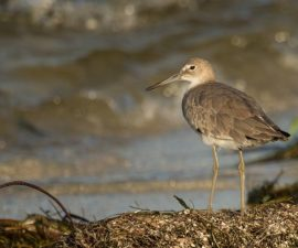 """""""Juvenile Willet on Shoreline"""" by Bert Whittlestone First Place in Natural History Section and Best Overall PDI in the Competition"""