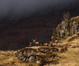 """""""Highland Stags"""" by Phil Dudley"""