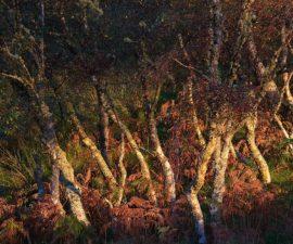 Birch Trees at Sunset on Shuna