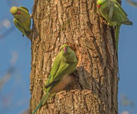 """""""Ring Necked Parakeets in Sefton Park"""" by Peter Tormey"""