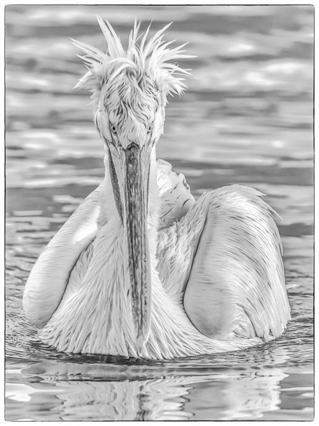 Face to Face Dalmatian Pelican by Martin Reece - Highly Commended