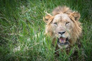 Highly Commended - African Lion, Tarangire National Park, Tanzania by Derek Gould