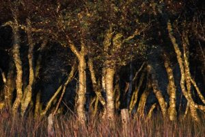 Silver Birch at Sunset by Simon Rahilly LRPS