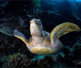 Green Turtle by David Keep