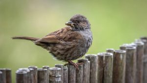 3rd Place - Dunnock with Grubs by Derek Gould