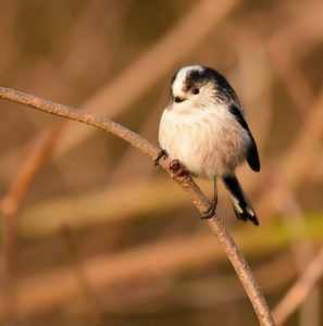 Highly Commended - Long Tailed Tit by Amy Ashley-Mather