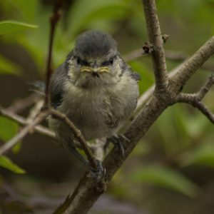 Blue Tit Fledgling in Bush by Alan Cargill