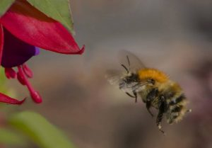 Bee heading for Fuchsia by Alan Cargill