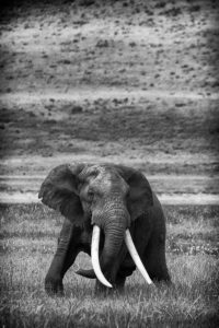 Commended - Startled African Elephant, Ngorongoro Crater by Derek Gould
