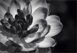 Commended - Dahlia Blossom by Barbara green