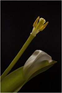 Highly Commended - Remains of a Tulip by Alan Cargill