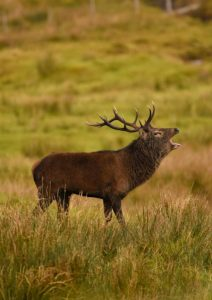 Very Highly Commended - Scottish Deer Rut by Amy Ashley-Mather