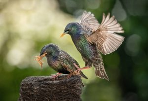 Commended - Starlings feeding by Christine Lowe LRPS