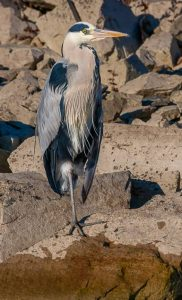 Commended - Grey Heron by Martin Reece ARPS