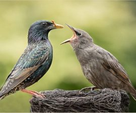 1st Place - Adult feeding juvenile starling by Christine Lowe LRPS