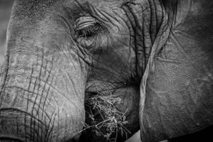 Commended - Elephant Eating, Tarangire National Park, Tanzania by Derek Gould